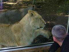 Another Lion Attacking Me (The Mucker) Tags: cat zoo cub scotland big edinburgh lion