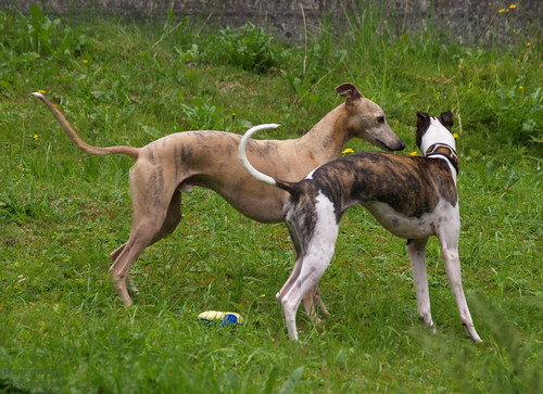 Whippet friends from Vorarlberg 4
