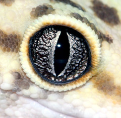 Guru Eye (KP 761219) Tags: wild pet macro nature animal animals closeup weird eyes asia desert reptile lizard wicked scales gecko lizards herp reptiles herps 2007 leopardgecko supershot eublepharismacularis