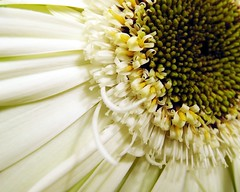 Beauty (steph.A) Tags: white macro beauty centre gerbera botanicalgardens excellence