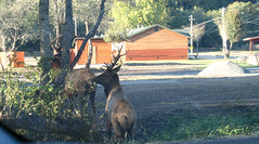 actual elk, crossing