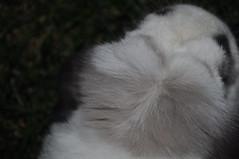 Albus snorgle spot (sensitivebunnyguy) Tags: cute rabbits toffee sundae albus netherlanddwarf cutebunnies cuterabbits cuterabbitphotos cutebunnyphotos lopeear