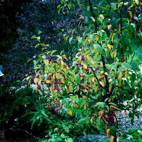 Cherry tree, Garden Gables Inn
