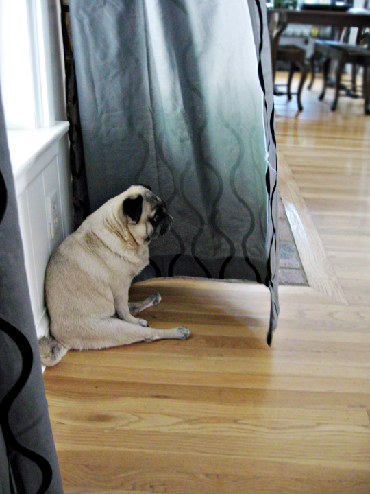 pug sitting behind curtain blowing open