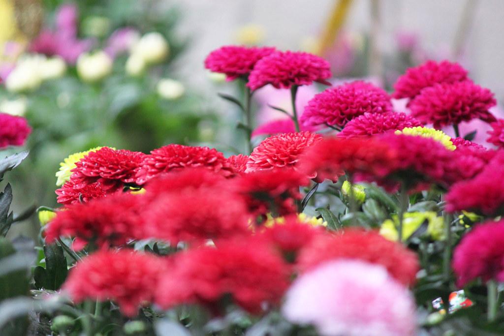 Yanaka Chrysanthemum Festival (10)