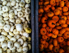 gourdtacular (nardell) Tags: autumn fall gourds fallcolors pa westchester iphone ifall photogenie shakeitapp cellularlife hipstamaticapp