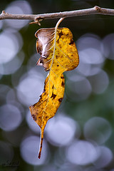 (saeid.goodarzi) Tags: fall nature canon golden leaf bokeh esfahan minimalist      canonefs55250mmf456is   eos1000d