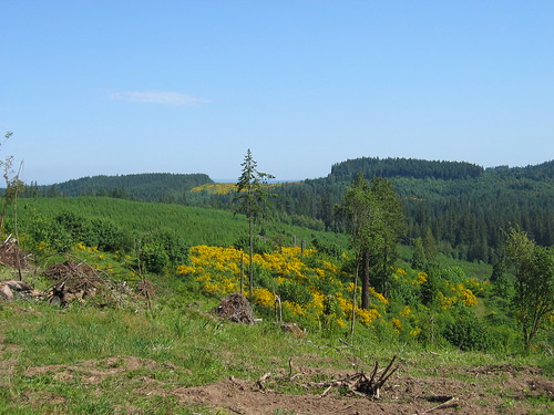 Clearcut filled in with scotch broom on Maple Hill Rd