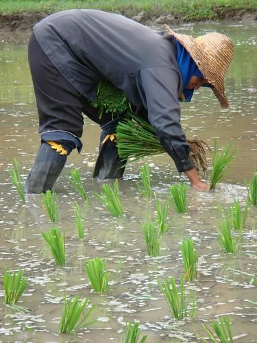 Rice paddies...Langkawi.