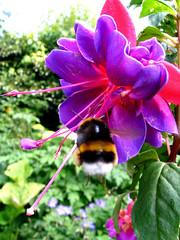 fuchsia (atsjebosma) Tags: pink flower holland green netherlands rose garden europa purple nederland fuchsia bee explore tuin groningen paars bloem naturesfinest impressedbeauty