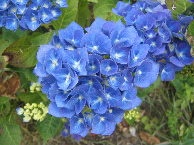 My Very Own Blue Hydrangea