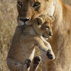Helping hand! (Lyndon Firman) Tags: africa canon eos cub kenya lion safari 1d coolest lioness masaimara babyanimal naturesfinest parkstock flickrsbest specanimal abigfave impressedbeauty wowiekazowie diamondclassphotographer flickrdiamond fiveflickrfavs bachspicsgallery