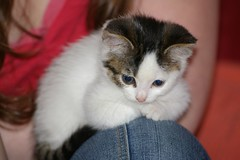 Kaylee (Mandy Verburg) Tags: pet animal female cat kitten kat feline kitty ek predator huisdier dier pussycat vrouw kaylee roofdier katachtige cyper thebiggestgroup cc100 mandyarjan kittyschoice thebiggestgroupwithonlycats
