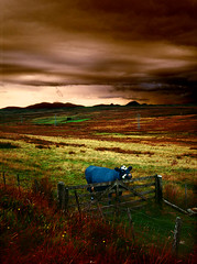 Fat Blue Cow Under A Bed Of Brown Sky (steffanmacmillan) Tags: old blue light vacation holiday mountains grass rain fence landscape scotland cow scary gate honeymoon skies kodak britain outdoor heather stormy roadtrip peat handheld scotia moor pylons ektachrome rushes hibernia hdr caledonia available wick campervan drizzle caledonian moorland caithness buttercups ecosse expanse thurso udders mountainous bluecow bigskycountry naturalmente naturesfinest forbidding blueribbonwinner epson4990 piratetreasure 50faves 10faves outstandingshots 4800dpi 25faves thisisawallhanger anawesomeshot aplusphoto flickrelite onlythebestare fujifilmgs645s 40dmax northeasternscotland nrjohnogroats bigfatcow
