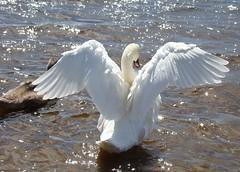 Spread your wings! (Missy2004) Tags: swan searchthebest newforest muteswan hatchettspond pfogold