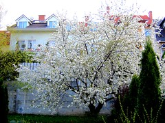 Our Backyard Cherry Tree