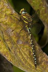 """Common Hawker Dragonfly (Aeshna junce(5) • <a style=""""font-size:0.8em;"""" href=""""http://www.flickr.com/photos/57024565@N00/1214889141/"""" target=""""_blank"""">View on Flickr</a>"""
