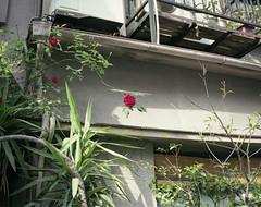 (wiiri) Tags: red flower green mamiya film mediumformat tokyo 6x7 mamiya7 mamiya7ii