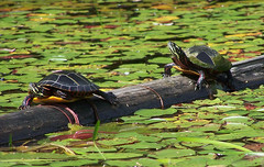 basking painted turtles Chrysemys picta (laurielabar) Tags: black green nature grey log turtle waterlilies kayaking lilypads reptiles basking bask plastron carapace chrysemyspicta paintedturtles diamondclassphotographer flickrdiamond nequassetlake woolwichme natureselegantshots