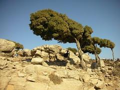 ikaria island !! (antifa) Tags: summer mountain nature animal ikaria  quercusilex steineiche
