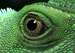 Eye of a Chinese Water Dragon