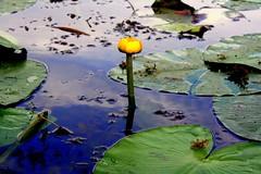 IMG_7257 (Renato Augelli) Tags: blue lake reflection green nature lago gallery fiori acqua riflessi ninfee ysplix trashbit