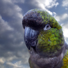 Parrot (Dragan*) Tags: blue sky pets black green bird eye nature colors animal clouds colorful purple pirates wildlife serbia beak feathers parrot pirate getty belgrade beograd conure talklikeapirateday srbija aratinga nandayus tašmajdan dragantodorovic singidunum београд tasmajdan nenday