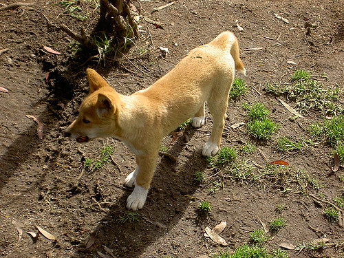 Pictures of dogs - dingo dogs 3
