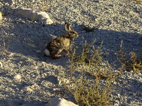 Utah. cottontail. hiker56. rabbit