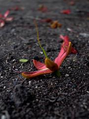 romano-1-15 (pola salicr) Tags: flower flor flamboyan