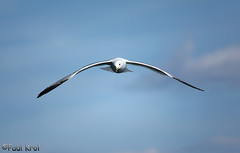 IMG_2310_2 (Paul Krol) Tags: sky bird flying seagull bif birdinflight 70200mmf4 canon5dmarkii