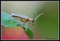 50DMIR18juin, Saperda calcarata (Denis Dumoulin (www.passioncanon.net)) Tags: coleoptera cerambycidae calcarata longicorne saperda