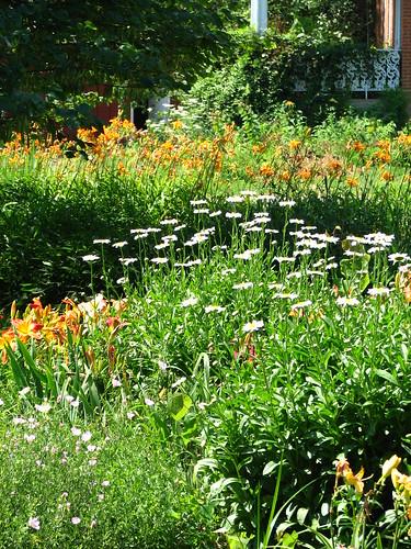 daisies brighten the beds