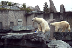 Eisbären / Polar bears