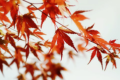 (~Minnea~) Tags: orange fall leaves dof bokeh 60mmf28 natureycrap nikond90