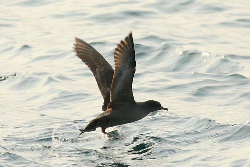 短尾水薙鳥 Short-tailed Shearwater
