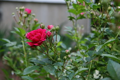 rose by fence