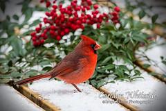 Cardinal Delight