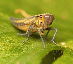"""Leafhopper #2 • <a style=""""font-size:0.8em;"""" href=""""http://www.flickr.com/photos/57024565@N00/836915022/"""" target=""""_blank"""">View on Flickr</a>"""