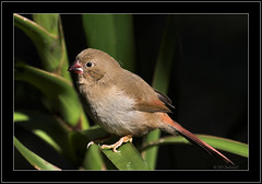 Juvenile Crimson Finch (Barbara J H) Tags: bird nature crimson wildlife australia finch qld aviary australiazoo faun australianbirds australianwildlife beerwah australiannativebird birdsofaustralia australianfauna canoneos30d animaladdiction specanimal animalkingdomelite wildlifeofaustralia captivebird barbarajh crimsonfinch neochmiaphaeton faunaofaustralia juvenilecrimsonfinch walkthroughaviary