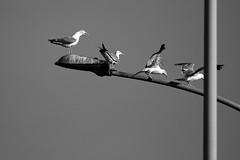 the Boss ( enzinho) Tags: bridge test seagulls rome roma gaivotas ponte urbannature gabbiani lazio hardlife naturaurbana naturezaurbana enzinho allrightsreserved convertbwpro bnanimali gabbianiincitt gaivotasnacidade seagullsintown vidadura 70300vr enzinho62 vitadura