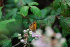 DSC_0064  Gatekeeper - by northdevonfarmer