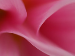 Abstract (gripspix (OFF)) Tags: pink dahlia abstract flower macro nature flowererotica
