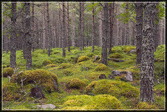 Scots Pines and green mossy undergrowth, Linn of Dee - by spodzone
