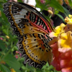 Collage of Color! (JRVANDELLEN) Tags: canada butterfly alberta calgaryzoo blueribbonwinner supershot cethosiabiblis malaysianlacewing anawesomeshot colorphotoaward coloursplosion