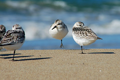 Sanderling Hopscotch (Pat Ulrich) Tags: ocean california beach birds d50 sand bravo perfect photographer searchthebest pacific birding nikond50 pointreyes soe hopping sanderling the limantourbeach shorebirds pointreyesnationalseashore naturesfinest calidrisalba earlymorninglight blueribbonwinner limantourspit specanimal naturesgallery shieldofexcellence specanimalphotooftheday avianexcellence diamondclassphotographer flickrdiamond theunforgettablepicture wetlanddoc secretlifeofbirds sanderlinghopscotch patulrich
