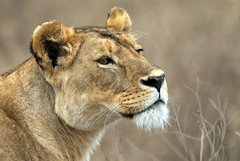 Up Close and Personal (Dave Schreier) Tags: africa david face up dave tanzania close lion ngorongoro crater lioness schreier wwwdlsimagescom
