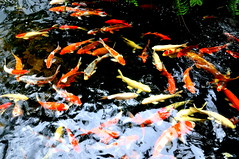 Koi Fish Pond (Eustaquio Santimano) Tags: fish beautiful japanese countryside pond singapore colours village hand outdoor good chinese large culture indoor luck koi feed expensive ponds fung survive breeders kranji shui