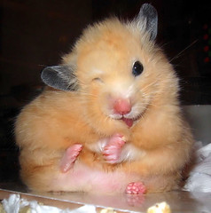 Compare with the photo on the left (pyza*) Tags: pet baby pets animal animals golden rodent hamster rodents hamsters babyboy syrian hammie homyak chmurka chomik