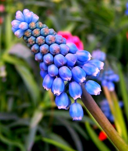 blue flowers, a welcome sign of spring
